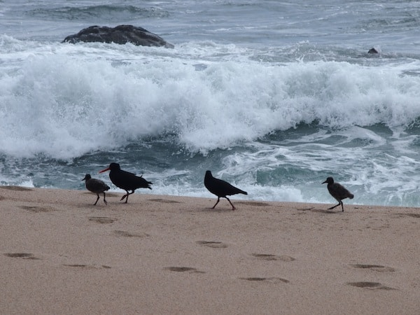 And there's more for you to see: Hello, lovely Oystercatcher family by the beach!