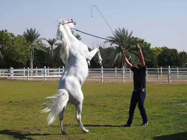 Next, we are introduced to the nimble grace of the Arabic horse in this dressage ...