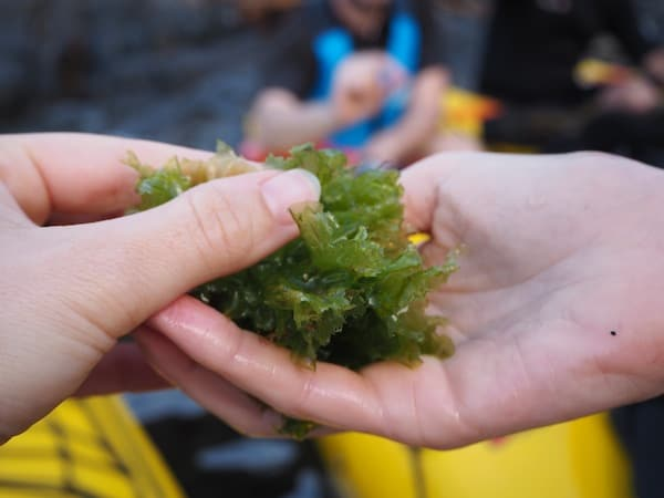 Manche der Algen schmecken ein bisschen wie (würziger) Salat ...