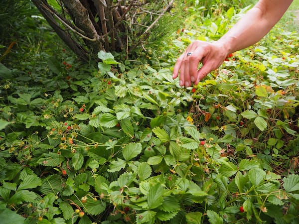 … und frische Walderdbeeren pflücken sich am besten in einem der fünf verschiedenen Gärten inmitten des Stiftspark von Stift Seitenstetten.