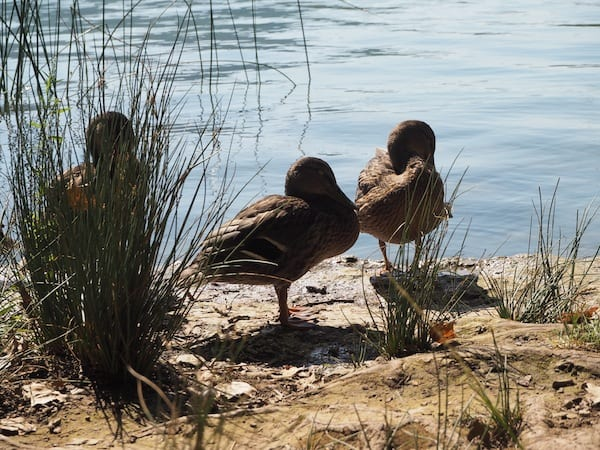 … ducks on Siesta ...
