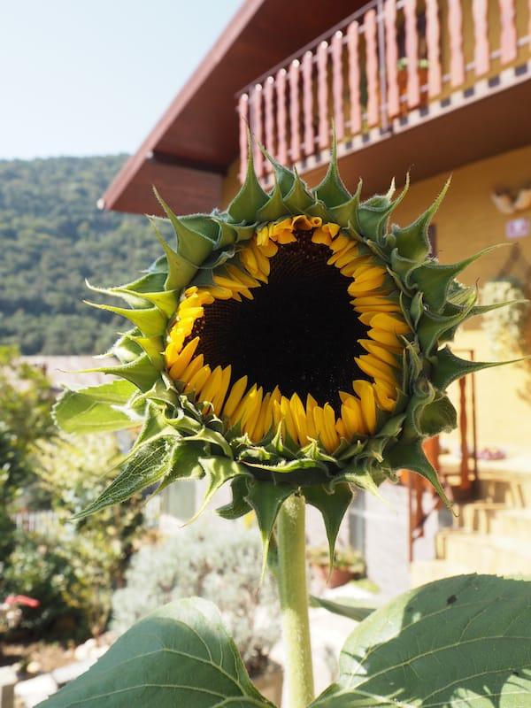 """… und auch die Sonnenblume sagt zum Abschied leise """"Servus!"""" - in Herzform, wohlgemerkt.!"""