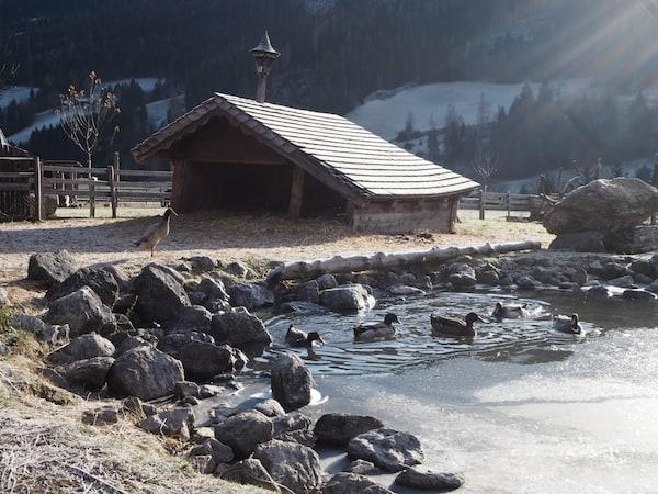 … und auch die Enten sieht man schon frühmorgens fröhlich eine Runde am Teich drehen.