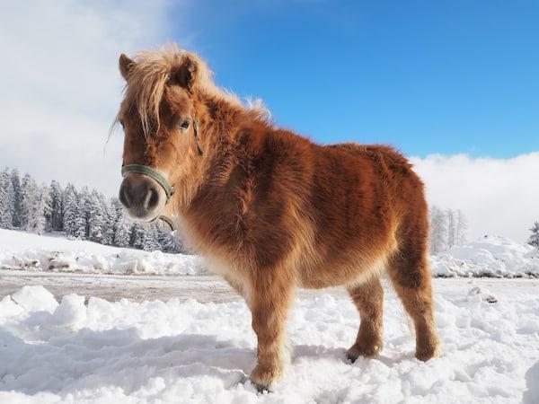 """des Hofes, wie hier Pony """"Volli"""", zu begrüßen und kennen zu lernen."""