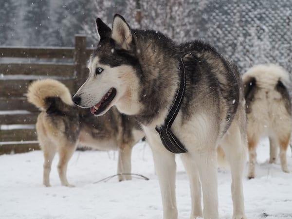 ... kommen in meiner Fantasie und tatsächlichen Vorstellung Wölfen am ähnlichsten ...