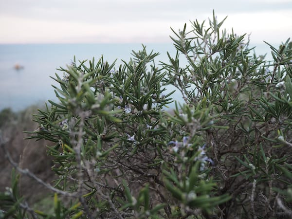 And did you know that rosemary is flowering at this stage here in Catalonia?!