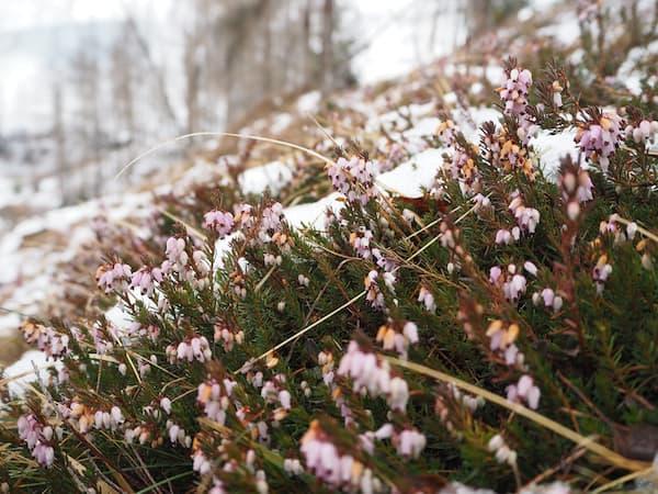 … haben wir Anfang Februar (!) gar schon erste Blüten aus beobachtet ..?!