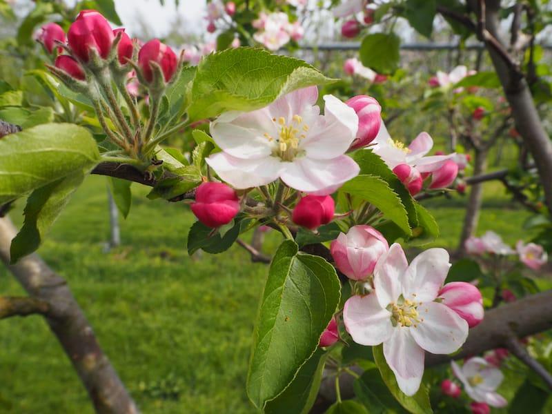 Im blühenden Obstgarten ...