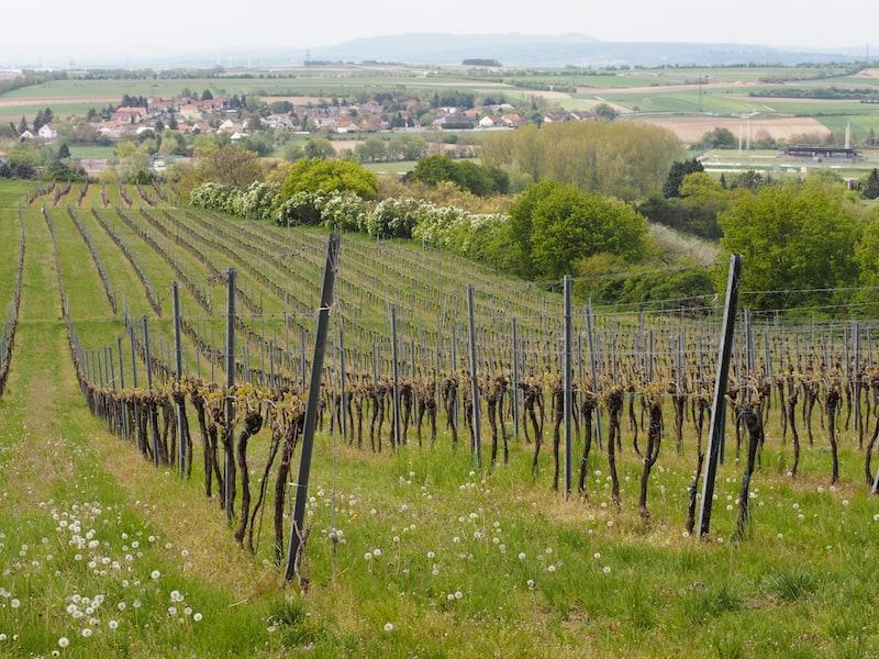 ... vorbei an der lieblichen Landschaft des Weinviertels ...
