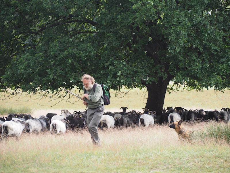 ... ein Blick in die Vergangenheit, eigentlich. Der Schäfer und seine Herde .. nur Stock, Rucksack und Kleidung sind etwas moderner geworden.!