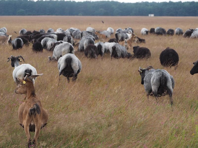 ... mitunter gemischt mit kleinen Ziegenherden, doch schon mal gut und gerne mehrere Hundert Tiere umfassend ...