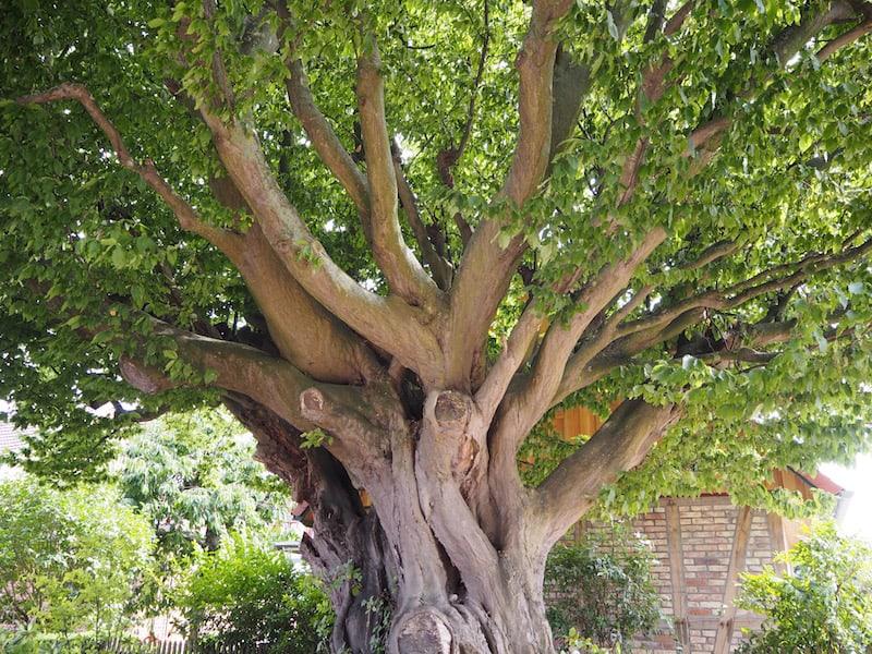 Der Blick neben mächtigen Bäumen wie diesen ...