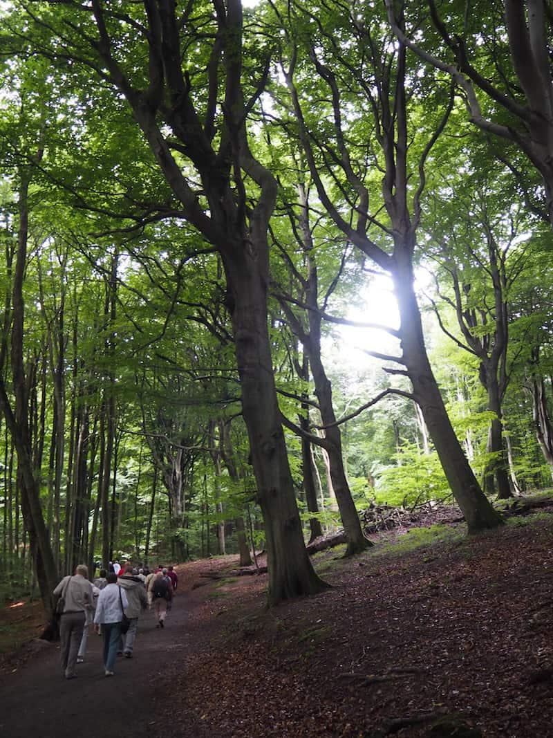 ... in den mächtig schönen Buchenwäldern entlang der Küste, hier auf dem Weg zum berühmten Kreidefelsen & Königsstuhl im Nationalpark Jasmund auf Rügen.