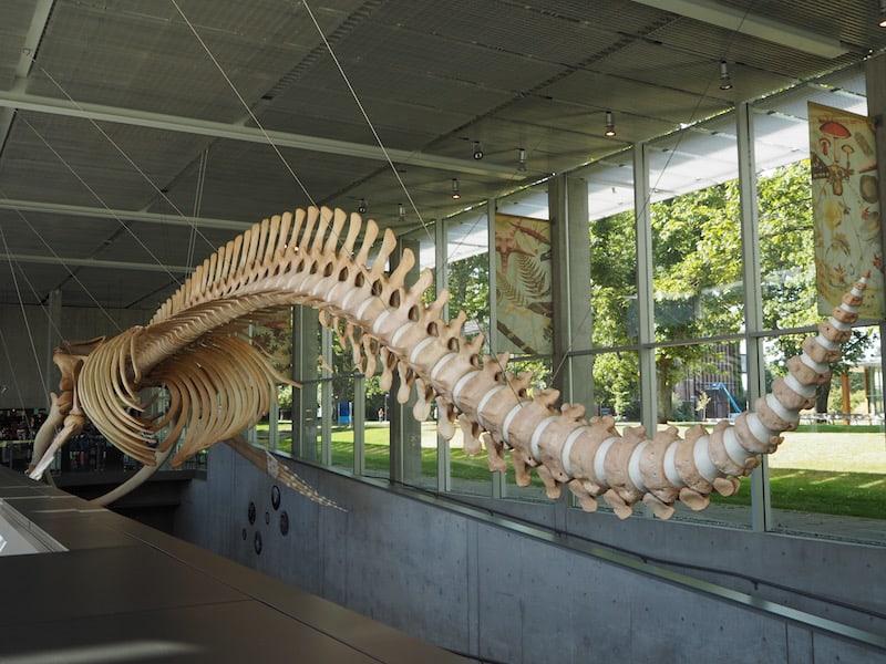 ... neben derer sich das Beaty Museum of Biodiversity auf dem Campus der Universität von British Columbia ebenso schmuck wie einzigartig macht: Hier überrascht ein komplettes Walskelett Besucher wie Studenten gleichermaßen!