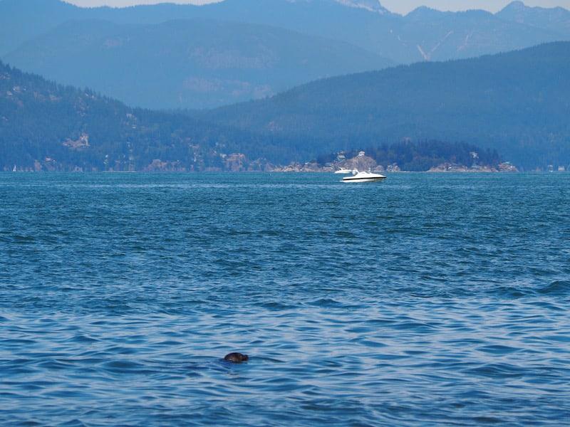 Mittagspause in Vancouver: Baden mit dem Seehund mit Blick auf die Hafenbucht der Stadt ...