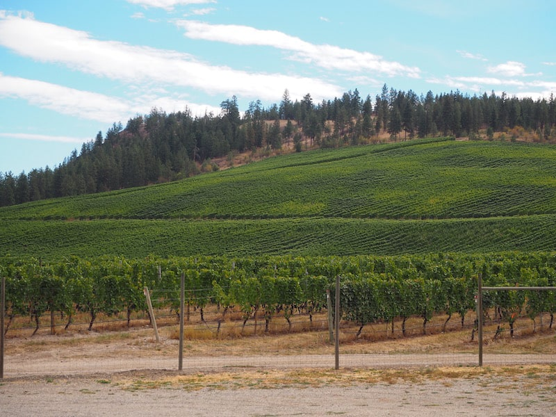 Speaking of Gewürztraminer: This is the largest single varietal plantation of Gewürztraminer in the entire area, the wine doing really well in this higher elevation, cooler micro climate …