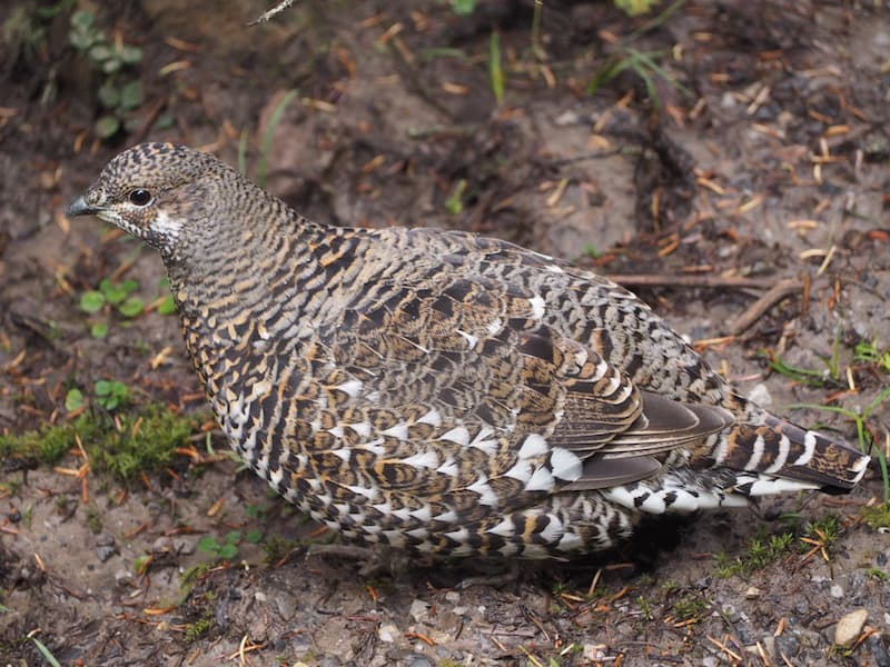 ... where it is possible to see wildlife up close, such as this cute little mountain grouse ...
