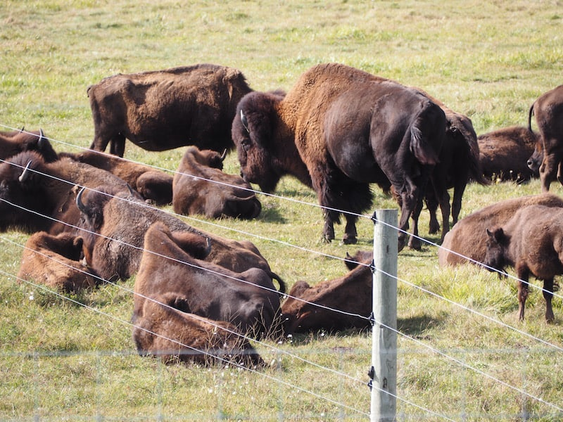 ... including how people lived, and roamed, with the great buffalo (bisons) ...