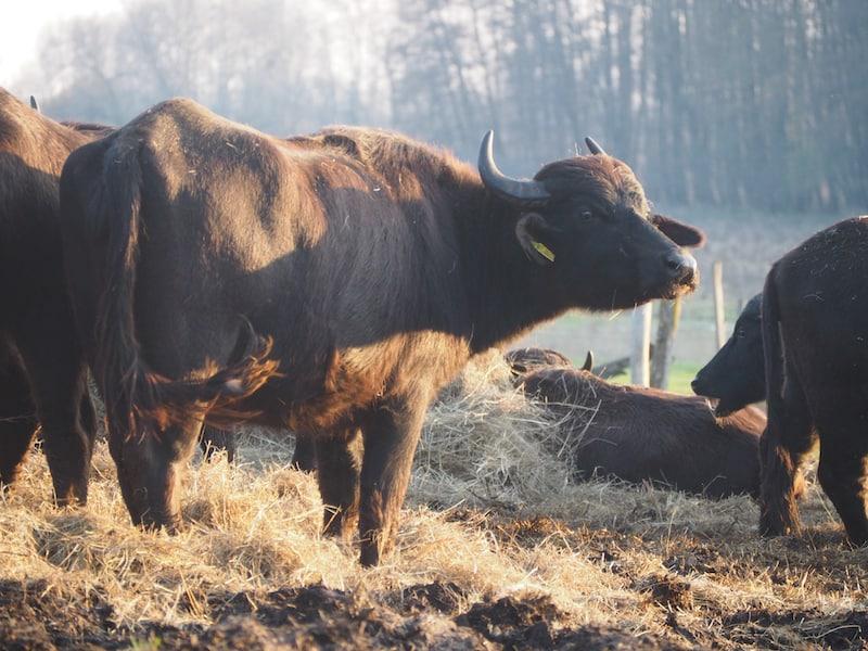 """... und dabei """"Rindviecher"""" der besonderen Art kennen lernen möchte: Die ungarischen """"buffalos"""" grasen hier nämlich schon seit ein kleiner Ewigkeit ihr Dasein ab!"""