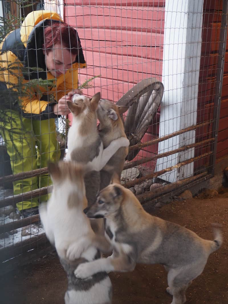 Puppies !!! These huskies are but four months old, and will start sledge training at six.