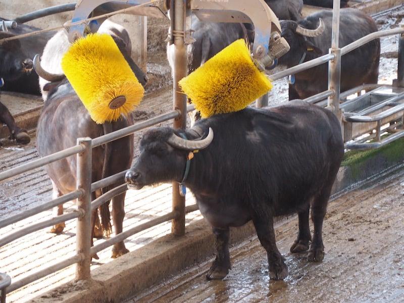 Selbst die Büffel werden hier mit klassischer Musik beschallt und massiert ...