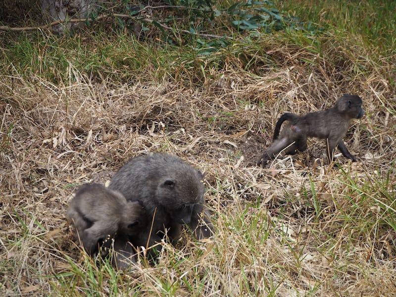 """Dazu passend: Paviane """"on the run"""", vor diesen diebischen Tieren die es gerne auf eine Gelegenheit zum Futterstehlen abgesehen haben, sollte man sich in Acht nehmen."""