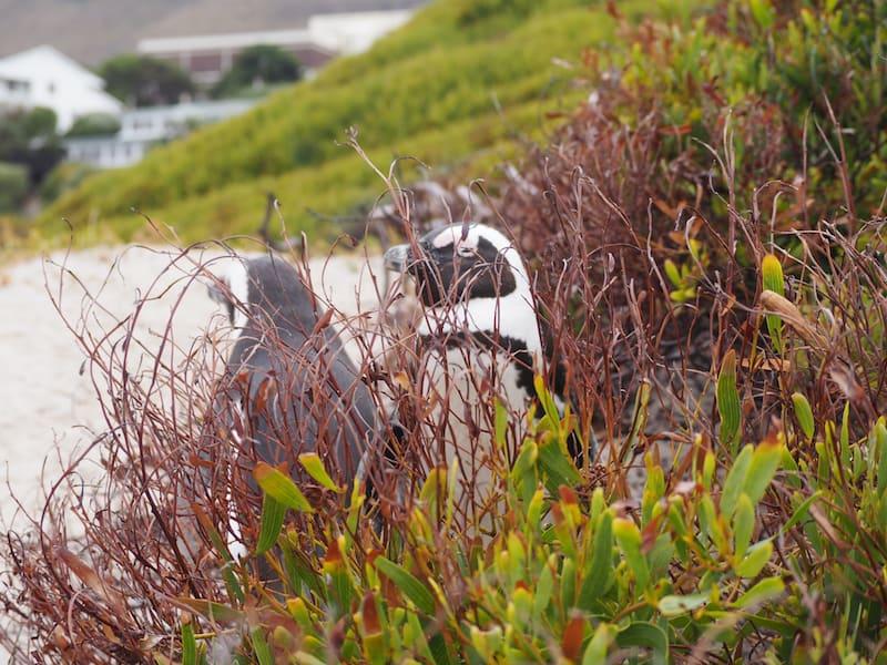 Guckst Du ! Pinguine machen in Südafrika offensichtlich Sommerurlaub ..!