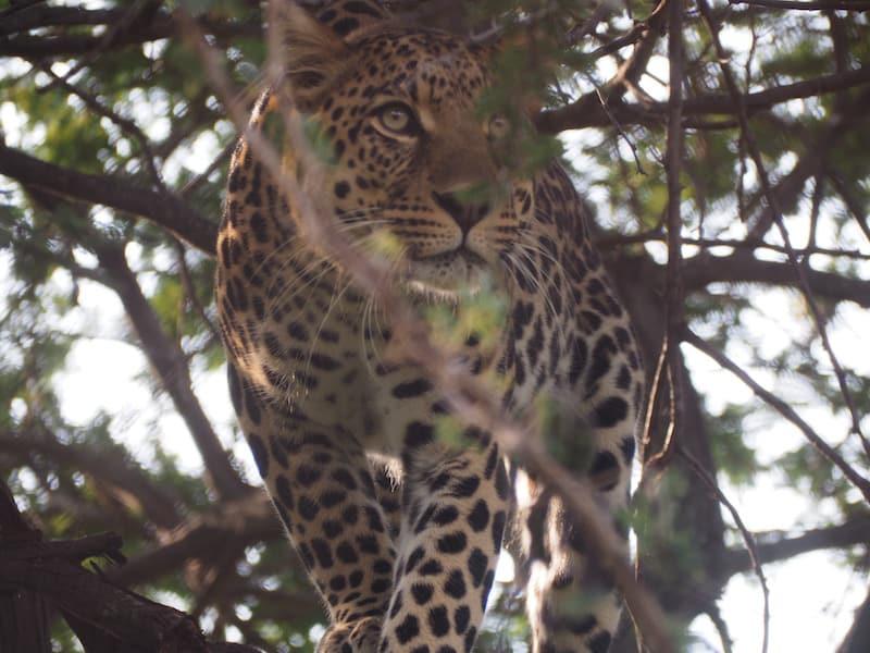 ... und vor seinem Blick sollte man sich hüten: Faszinierend schön ist der Leopard, mein persönlicher Liebling unter allen wilden Großkatzen, die wir hier so kennen lernen.