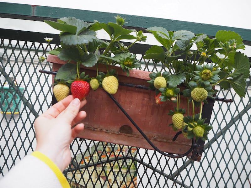 Zu guter Letzt verabschiede ich mich hier von Euch mit diesem Bild der ersten, frühreifen Erdbeere, die ich Mitte April (!) schon entdeckt habe ... Tja, im Süden müsste man leben!