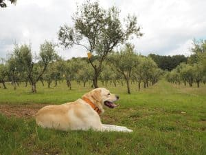 ... Adriana's dog is the caretaker of both the winelands as well as the olive grove here ...