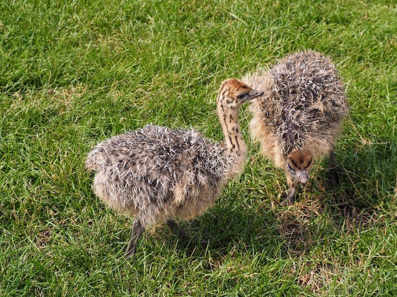 ... kleine Straußenküken auf der Straußenfarm Donaumoos bei Leipheim, der mit Abstand größten in ganz Deutschland mit über 800 Tieren!