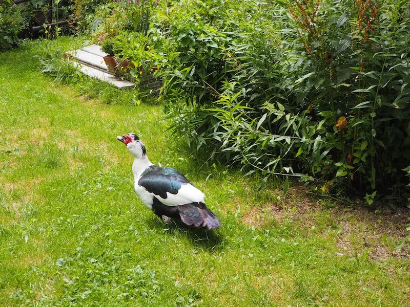 Solch prächtige, großen Enten habe ich noch selten zuvor gesehen.