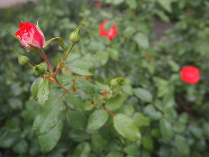 ... erfüllt von Duft & Frische von weit über 30.000 Rosen zu insgesamt 800 verschiedenen Sorten (!) ...