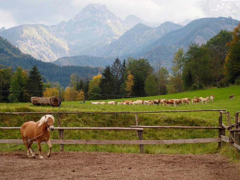 ... sowie ganz eigener Kulturlandschaften, wie hier der Bewirtschaftung durch Viehweiden auf dem Bio- und Reiterbauernhof Laussabauernhof.