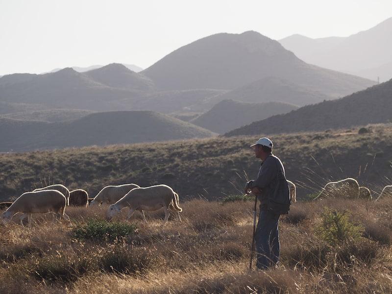 ... eröffnet sich weiter landeinwärts der Blick auf fast schon selten gewordenen Bilder, wie diesen Schäfer mit seiner Herde hier ...