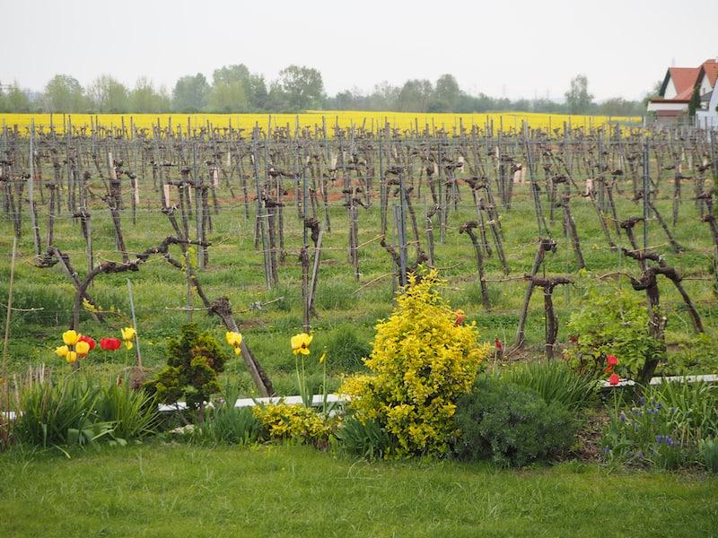 ... inmitten der Weinbauregion Kremstal ...