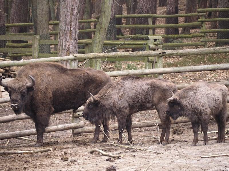Nahe Swinemünde gibt es hier übrigens auch Europäische Bisons in einem kleinen Naturreservat in Strandnähe zu bestaunen ...
