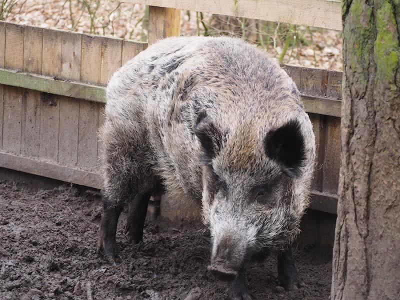 ... sowie ebenfalls wollige Zeitgenossen, die polnischen Wildschweine der Buchenwälder im Nordwesten Polens.
