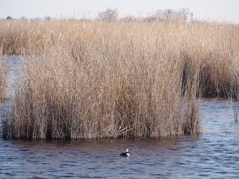 ... die flotten Haubentaucher im Schilfgürtel des Neusiedlersee Feder für Feder durchs Fernrohr unter die Lupe zu nehmen ...