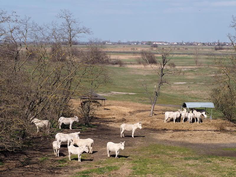 ... bzw. die nicht minder berühmten, weißen Esel des Nationalpark Neusiedlersee-Seewinkel zu bewundern: Wie auch den Rindern ist ihnen gemein, dass sie im zum Nutzen der Nationalparkbehörde liebend gerne fressen und so die umliegenden Natur- und Kulturlandschaften helfen zu erhalten ...