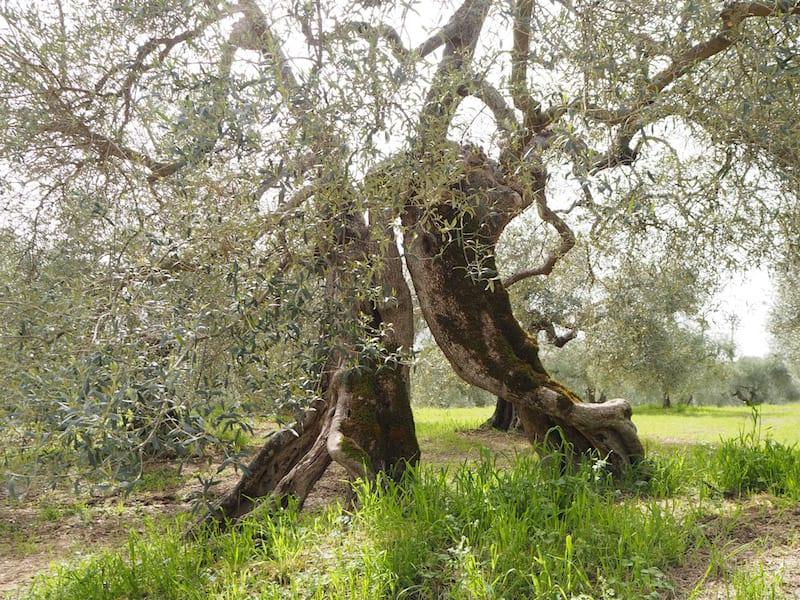 ... schreibt es sich doch am besten, nicht wahr? Herrlich, die Kraft jahrtausendealter Bäume rund um sich zu spüren.
