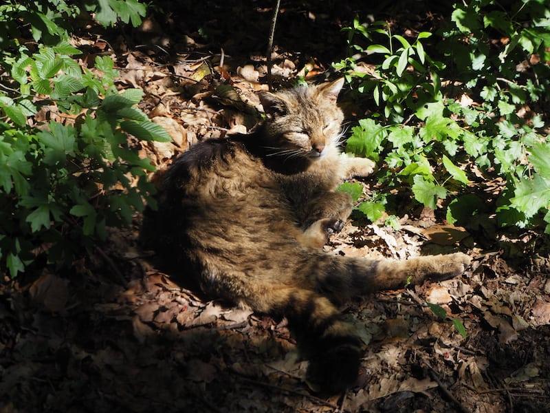 """Kater ... räkelt sich in der Sonne, unmittelbar vor der Nase neugieriger """"europäischer Wildkatzen-Besucher"""" wie mich ..."""