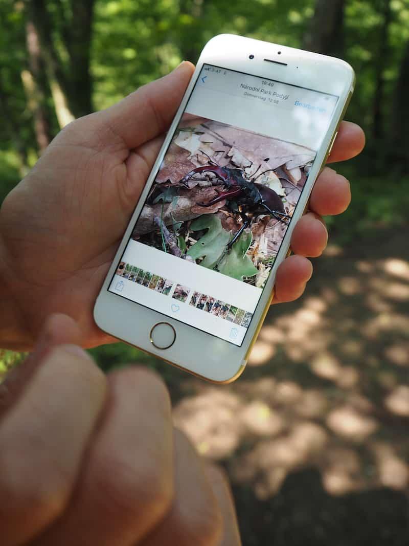 """... zeigt sie mir bereitwillig Fotos ihrer jüngsten """"Entdeckungen"""": Einen fliegenden Hirschkäfer, den man mit viel Glück hier auf seinen Ausschwärmenden selbst beobachten kann!"""