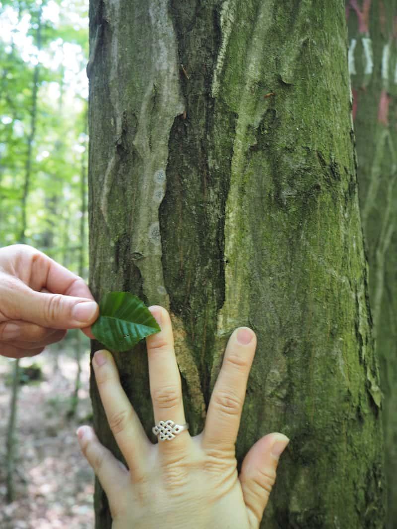 ... vorbei an den typischen Buchenwäldern des mitteleuropäischen Laubmischwaldes ...