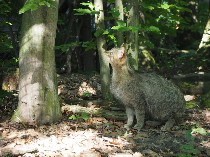 ... seine fein gemusterte Partnerin geht indes auf Nahrungssuche: Jeden Tag können die beiden europäischen Wildkatzen bei der geplanten Fütterung um 15.30 Uhr in ihrem Jagdverhalten beobachtet werden.