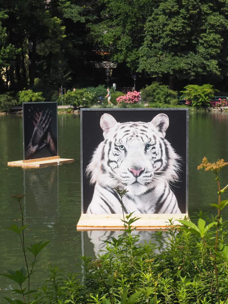 ... am meisten beeindruckt hat mich der durchdringende Blick dieses weißen Tigers im Doblhoffpark ...