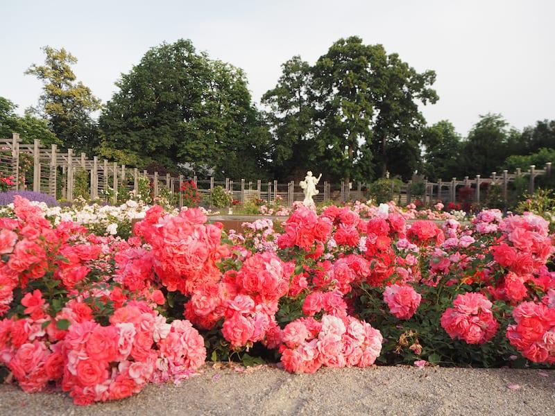 ... und jetzt, wo die Tausenden von Rosen erblüht sind, die Baden jedes Jahr so schön kleiden ...