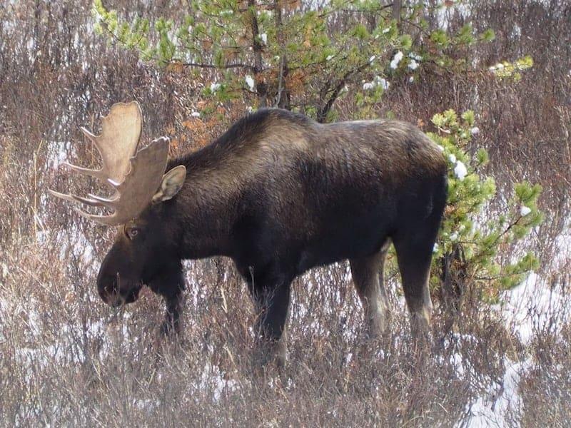 ... doch am meisten wohl das unverschämte Glück, mitten auf dem Weg einen riesigen kanadischen Elch in rund 20 Metern Entfernung zu Gesicht zu bekommen!