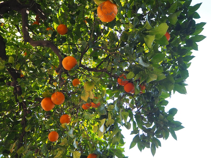 ... vorbei an duftenden Orangenbäumen, die jetzt im Winter reife Früchte tragen ...