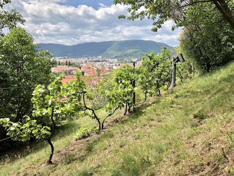 ... schließlich und unendlich finde ich bei meinem Aufstieg auf den Schlossberg gar diesen hübschen, zweizeiligen Weingarten vor! Ob ich noch erfahren werde, wo der Wein dazu gekeltert wird ..?